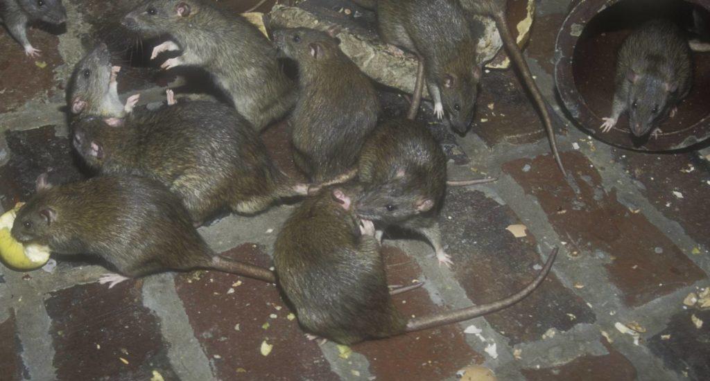 уничтожение крыс в Уссурийске